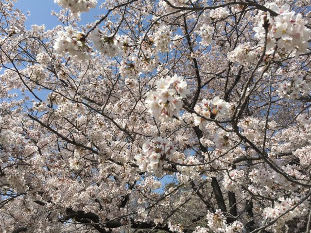 服部牧場の桜が満開