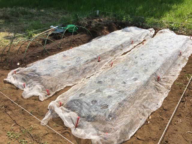 シェア畑でトウモロコシを2畝作り種まき