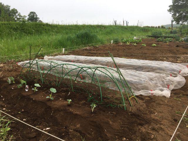 トウモロコシ、枝豆、キュウリ、トマト、オクラ、パクチーを植えたシェア畑の様子